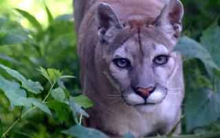 Cougar at Carolina Tiger Rescue